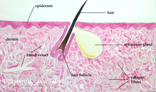 A pele normal, com estruturas em equilíbrio